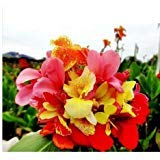 (flower seeds bonsai Canna Lily Seeds CLEOPATRA Cannaceae Great Potted Plant Family garden decoration 10pcs p28)