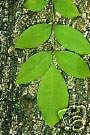 Fraxinus pennsylvanica ASH Tree Seeds!