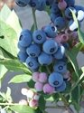 (3 Gallon Plant), POWDERBLUE Rabbiteye Blueberry- Berries Are Very Light Blue in Color, Medium in Size with Good Firmness and Flavor, Ripens Mid Season.