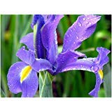 SVI 20 Blue Magic Dutch iris Bulb Corm Nice Beautiful Spring Summer Flower Perennial
