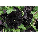 Plant Petunia Seeds - Petunia - 100 Seeds - Black Cat - Rare Find - Rngardens