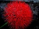 9 Bulbs Scadoxus Multiflorus~Syn. Haemanthus Multiflorus~AFRICAN BLOOD LILY!!