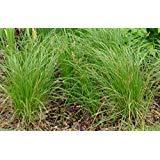 10 Seeds Carex Pensylvanica (Pennsylvania Sedge) also called Common Oak Sedge ()