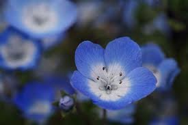 The Dirty Gardener Nemophila Menziesii Baby Blue Eyes Flowers - .25 Pounds ()