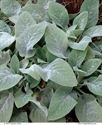 (1 Gallon) 'Helene Von Stein' Lamb's Ear, Big Lamb's Ear, Woolly Silver Grey Foliage, Larger Leaves Than Typical Stachys, Flowers Are Rare, but Are Purple When They Do Appear.