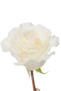 MT Everest White Rose 20