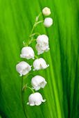 SD1172 Lily of the Valley Seeds, Lily of the Valley Flower Seeds, New Live Fresh Seeds (50 Seeds) by PlantGrabber