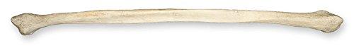 Real Human Fibula Natural Bone