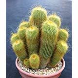 Notocactus leninghausii exotic columnar cacti parodia rare cactus seed 25 SEEDS