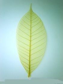 50x green Natural Skeleton Leaves Rubber Tree Scrapbook Craft Wedding Decor (Hobbycraft Decorations Tree Christmas)