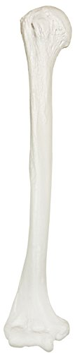 Axis Scientific Humerus Bone Model | Right | Cast from a Real Human Humerus Bone l Upper Arm Bone Model Has Realistic Texture and Important Bony Landmarks | Includes Product Manual | 3 Year Warranty