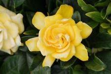 Gardenia Jasminoides (Golden Magic) Live Plant