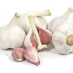 1 +Pound Fresh Music Garlic Bulbs – Hardneck – Allium sativum var. ophioscorodon by Growers Solution