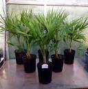 (Chinese Windmill Palms 3 Pack- Cold Hardy Windmill Palms)