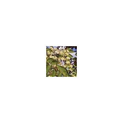 Aralia spinosa Devils Walking Stick EXOTIC Native SEEDS : Garden & Outdoor