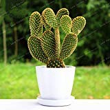 100 pcs Opuntia microdasys Seeds Succulent Plants Seeds Indoor Potted Plant Green Plant Radiation Protection Cactus