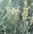 Atriplex canescens UNIQUE SHRUB Seeds!