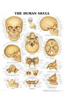 The Human Skull 3D Raised Relief Chart -