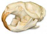 Muskrat Skull (Teaching Quality Replica)