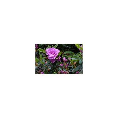 (3 Gallon) Amelia Rose Hybrid Azalea, Grand Pink Double Rose Like Flowers, Evergreen Shrub, : Garden & Outdoor