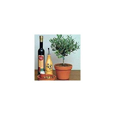 Olive Tree 25 Seeds - Olea europaea - Great Houseplant : Garden & Outdoor
