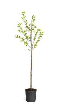 (Yoshino Cherry Tree - 5-6 ft.)