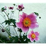 30 Seeds Chinese Anemone, Japanese Thimbleweed, Anemone Hupehensis