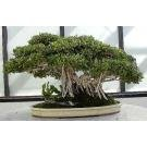 BANYAN Fig Tree~(GREAT 4 Bonsai)~Seed~1 Seed ONLY