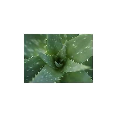 Aloe Vera Succulent Starter Plant : Garden & Outdoor