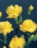 30+ Yellow Carnation Flower Seeds /Perennial