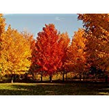 Syrup Tree Maple - Maple Tree Seeds - SUGAR MAPLE - Acer Saccharum - Produces Maple Syrup - 5 Seeds