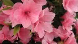 Azalea Kurume 'Coral Bells' 4 INCH, Evergreen Shrub, Pink Flower by Divine Botanicall