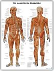 Lerntafel Die menschliche Muskulatur