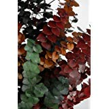 Tri Color Eucalyptus Stems 12 oz Bundle 12oz Bunch 8 To 12 Branches With Several Stems on Eachstands 30in. Tall