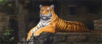 (Rajastan Tiger Rear Window Graphic)