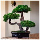 Bonsai Boy's Monterey - Triple Trunk-Preserved Bonsai Tree Preserved - Not a living tree