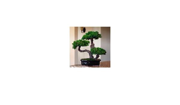 Amazon Com Bonsai Boy S Monterey Triple Trunk Preserved Bonsai Tree Preserved Not A Living Tree Home Kitchen