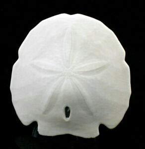 (KARPP ONE Large White Arrowhead Sand Dollar 5