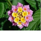 Lantana Camara ~~~Beautiful Flower~~~ 500 Fresh Seeds Rare-bulk