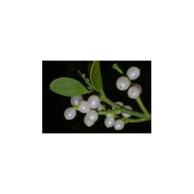 Cutdek Mistletoe (5 Seeds) Fresh This Season's Harvest from My Garden : Garden & Outdoor