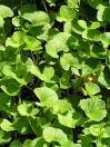 Gotu kola Centella asiatica Indian pennywort 15 seeds!