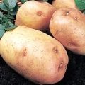 Seed Potato King Edward 1Kg