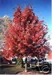- Acer rubrum RED MAPLE TREE Seeds!