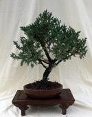 - Old Specimen San Jose Juniper Bonsai Tree in 9