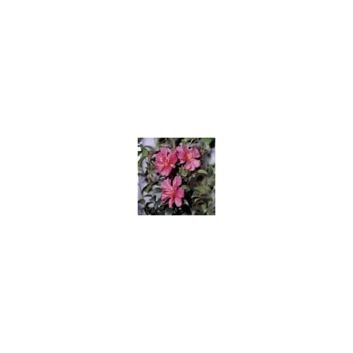 (1 gallon) Camellia 'HIRYU', showy pink round flowers with rose overtones, blooms in Fall/winter free shipping