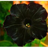 50 Black Cat Petunia Seeds