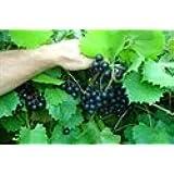 1 gallon,NESBITT Muscadine Grape Vine Shrub, SELF FERTILE, black COLOR, Great Source of Antioxidants, large sized, cold hardy(Hydrangeas Shrub, Evergreens, Gardenia