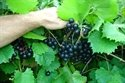 (1 Gallon) Jumbo Muscadine Grape Vine, Black Fruits Are Very Large in Size, (One of the Largest...