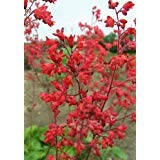 (100 HEUCHERA FIREFLY Red Coral Bells Flower Seeds *Comb S/H)