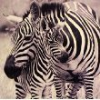 Growth Chart Art Nursery Safari Animal Wall Art Plaque, Zebra